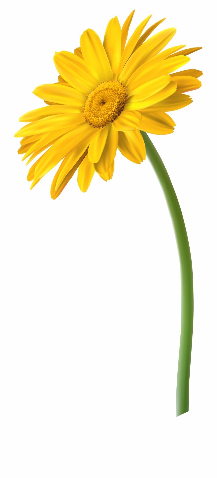 Daisies Clipart Light Yellow Flower - Marguerite Daisy ...