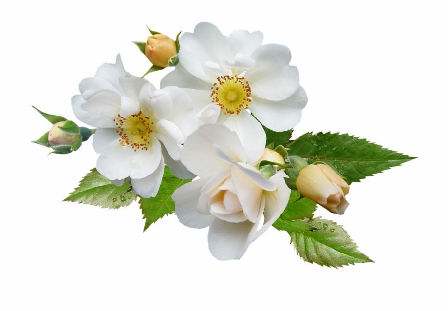 140 1404137 wallpaper bunga mawar putih