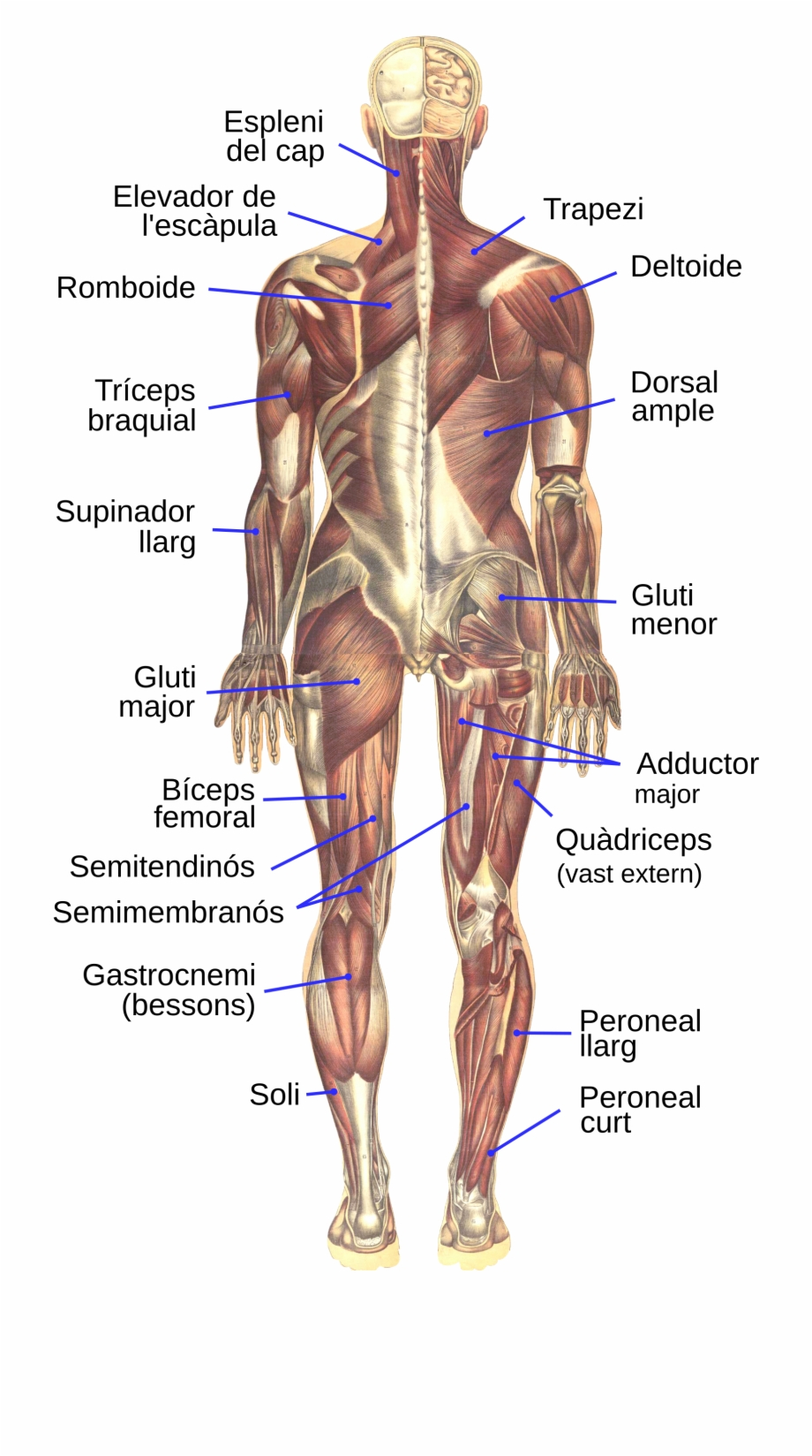 Bougle Human Muscular System Posterior Ca Diagram Transparent Png Download 3396551 Vippng