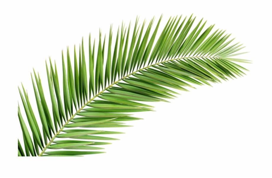 Leave Vector Palm Leaf - Transparent Palm Tree Leaf Png ...