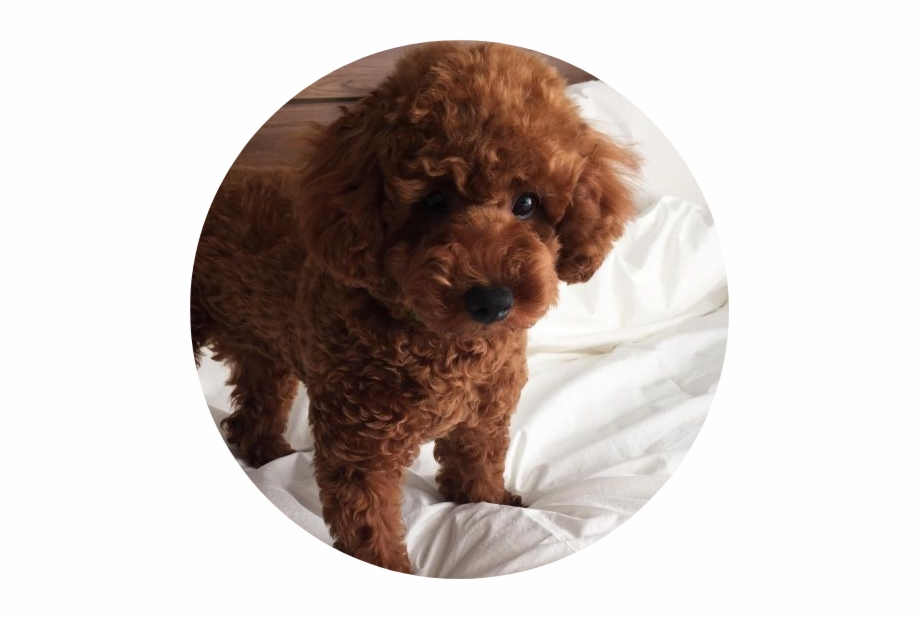 Tumblr Aesthetic Brown Dog Puppy Fluffy Poodle Aesthetic Transparent Png Download 3403750 Vippng