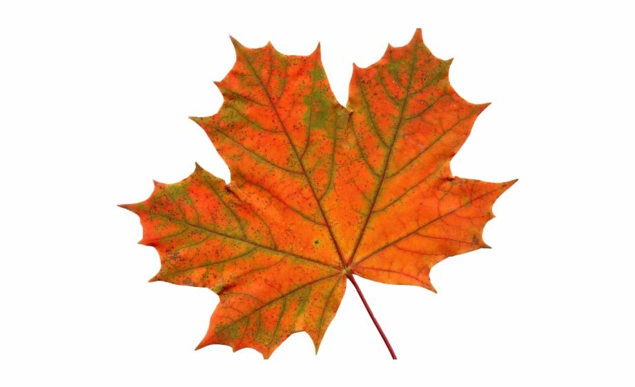 Canada Maple Leaf Png Transparent Images Free Leaf Clipart
