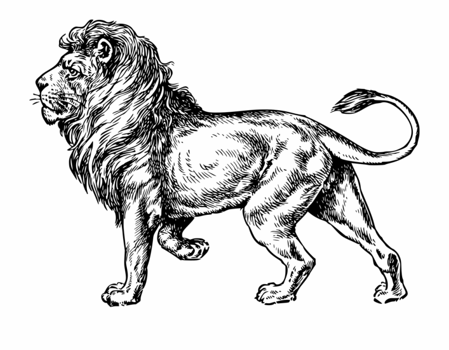 Lion Png Drawing Lion Outline Transparent Png Download 397933 Vippng Learn how to draw the king of the big 5 animals, the lion. lion png drawing lion outline