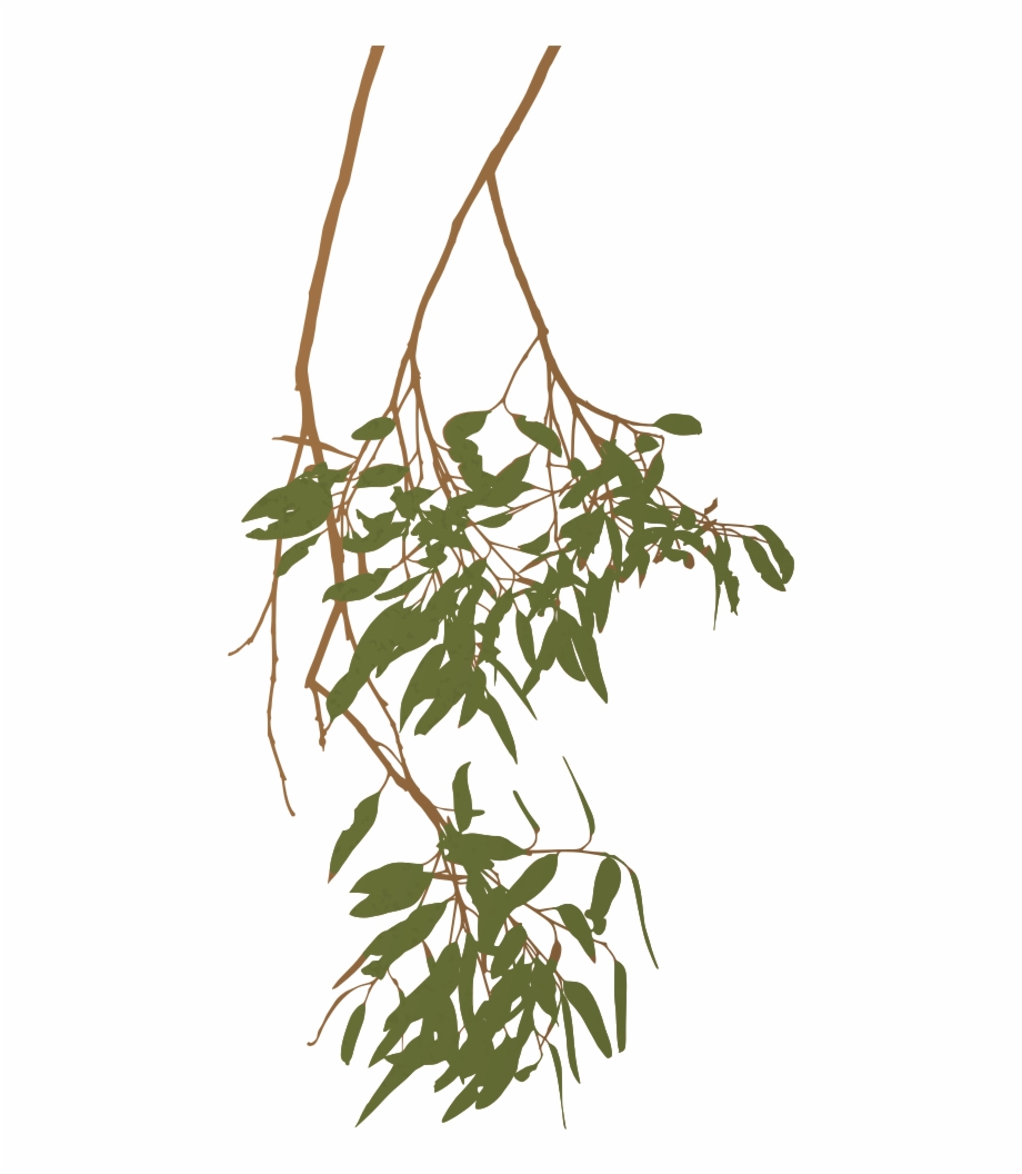 Eucalyptus Gum Tree Branch Australia Clipart - Australian ... (920 x 1056 Pixel)