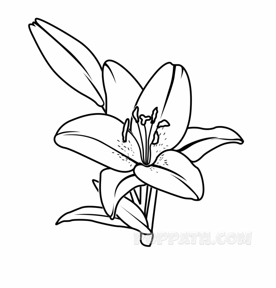 Lily Flower Line Drawing At Getdrawings Line Drawings Of Lilies Transparent Png Download 4630266 Vippng