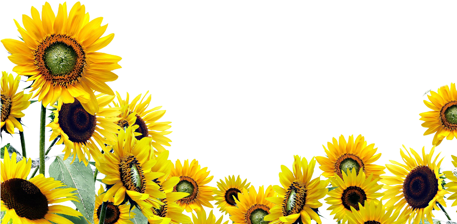 Frozen Fever Png Sunflowers The Bradley Clear Background