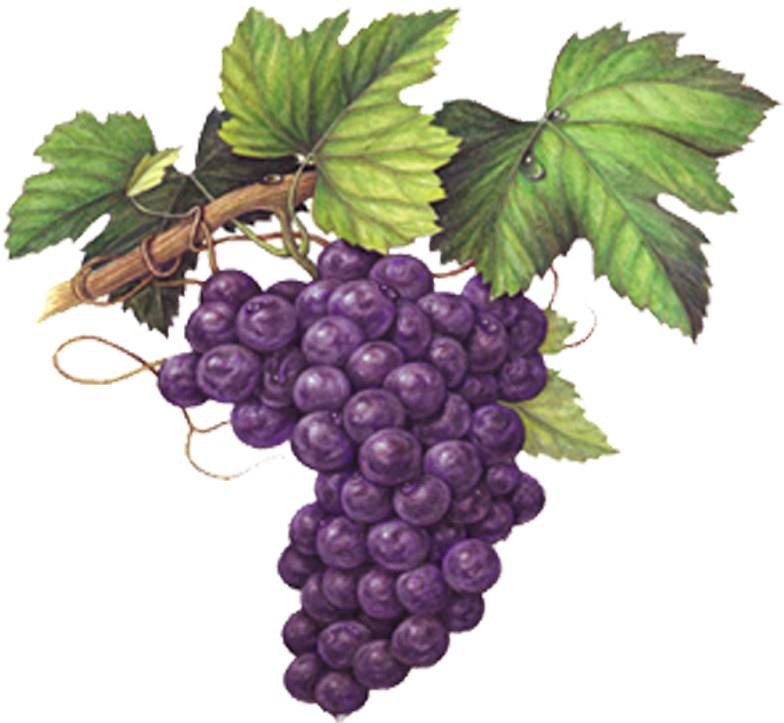 Grape Emoji Png Grape Watercolor Painting Grapes Colored Pencil Drawing 2922558 Vippng