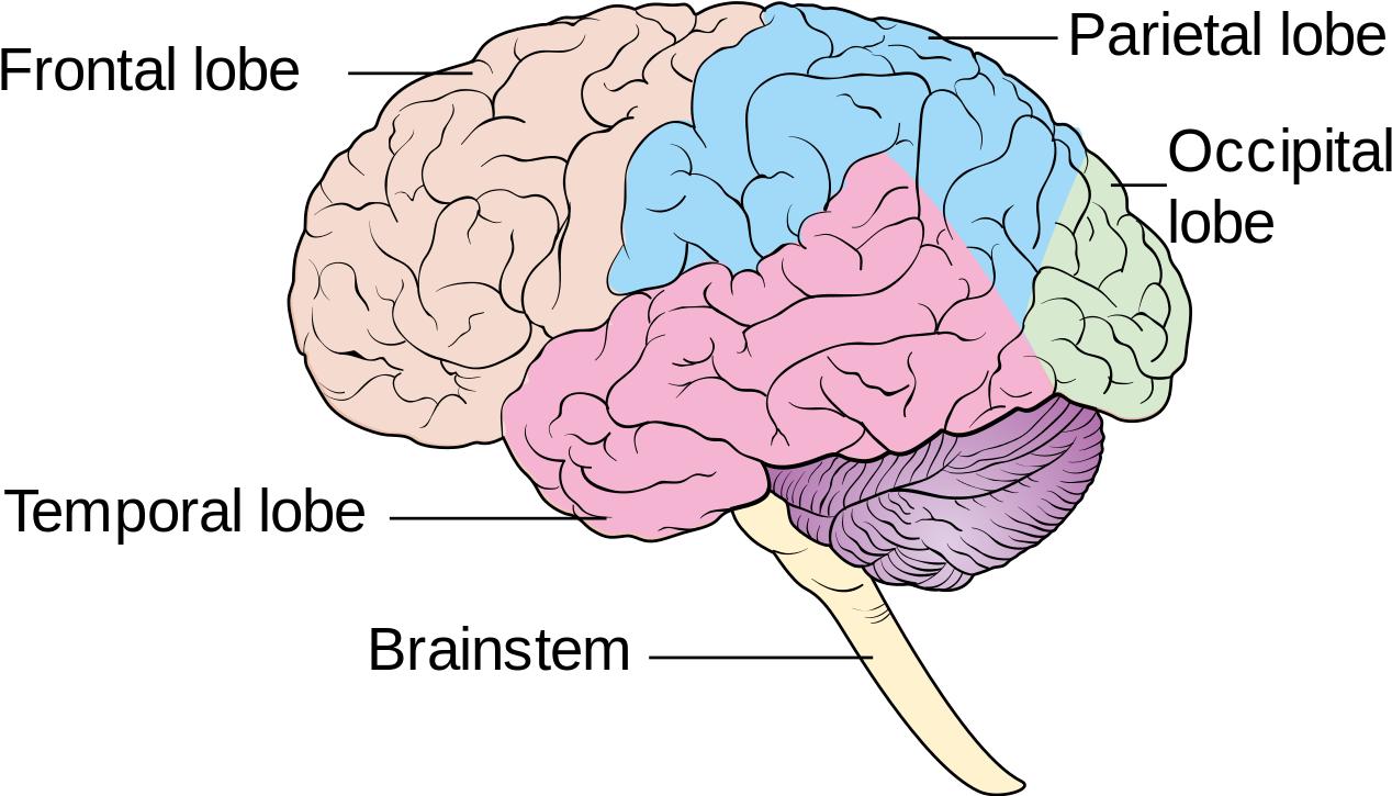 human brain png - Diagram Showing The Lobes Of The Brain ...