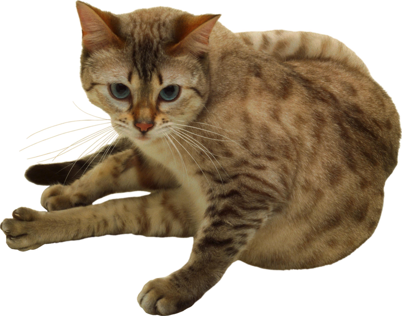 фото кота на прозрачном фоне диваны, кресла